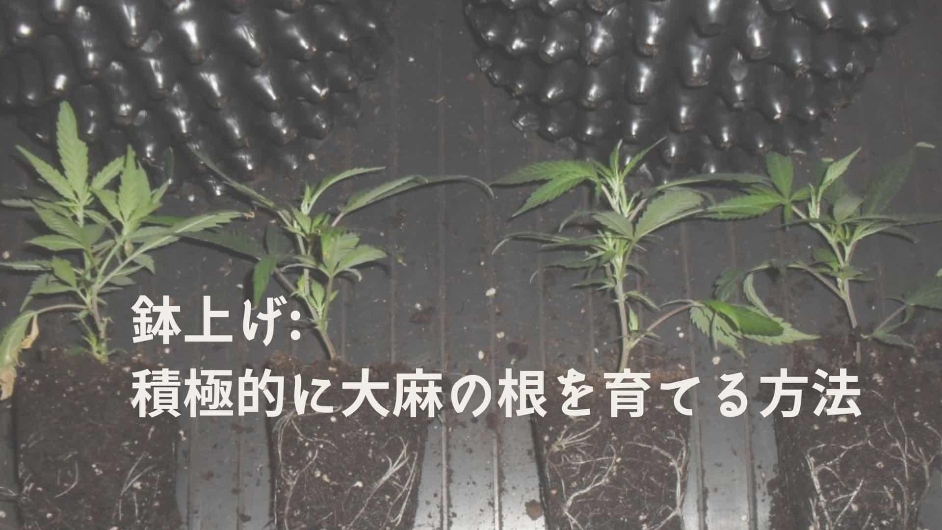 鉢上げ_ 積極的に大麻の根を育てる方法