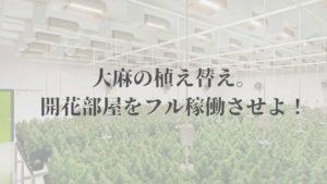 大麻の植え替え。 開花部屋をフル稼働させよ!