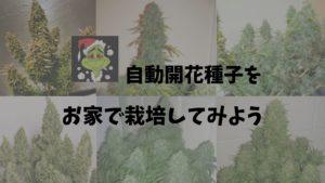 自動開花種子(オートフラワー)をお家で栽培してみよう